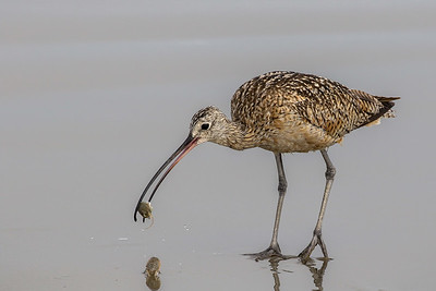 Long-billed Curlew @ Morro Rock, CA - July 2017