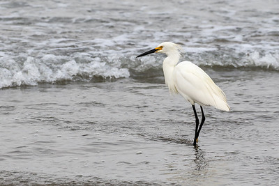 Snowy Egret @ Morro Rock, CA - July 2017