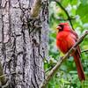 Northern Cardinal @ Kiwanis Riverway Park - May 2017
