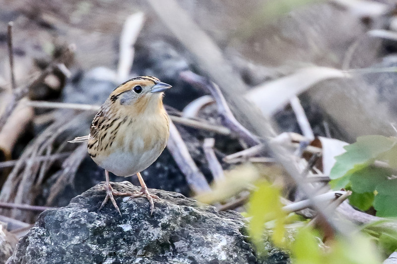 Le Conte's Sparrow @  Metzger Marsh, OH - May 2017