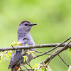 Gray Catbird @ Kiwanis Riverway Park - May 2017