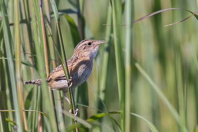Sedge Wren @ Battelle Darby Creek Metro Park--Wet Prairie Teal and Harrier Trails - Aug 2017