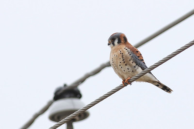 American Kestrel @ Killdeer Plains - Nov 2017