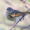 Ruby-crowned Kinglet @ Magee Marsh - May 2017