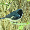 Black-throated Blue Warbler @ Magee Marsh, May 2017
