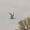 Forrester's Tern @ Metzger's Marsh - May 2017