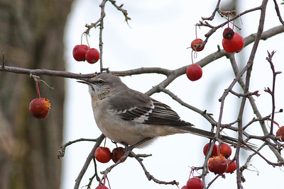 Northern Mockingbird @ Killdeer Plains WA - Nov 2017