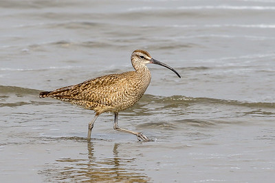 Whimbrel @ Morro Rock, CA - July 2017