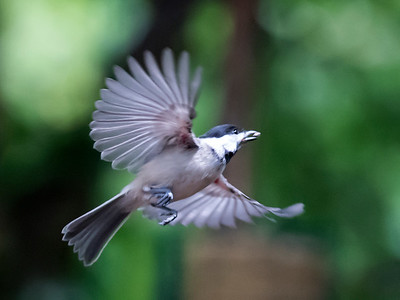 Carolina Chickadee flight2