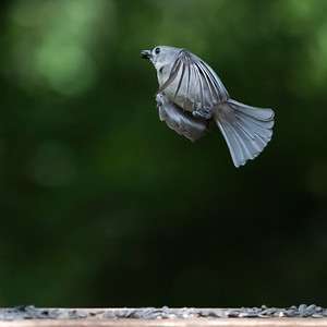 Tufted Titmouse flight
