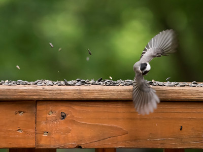 Carolina Chickadee flight1