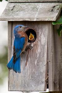 BluebirdWithYoung