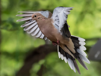 Mourning Dove flight3