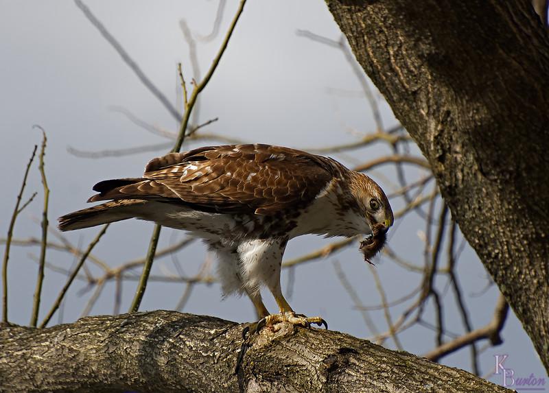 DSC_8832 the falcon_DxO