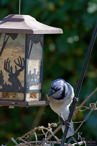 DSC_9341 backyard visitors_DxO