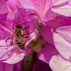 DSC_6897 honey bee