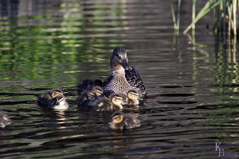 DSC_9853 the ducks of BPC_DxO