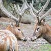 DSC_3367 Pere David's deer