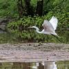 DSC_5590  great white egret