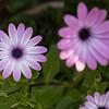 DSC_2789 purple gerbera