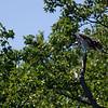 DSC_3427 osprey_DxO