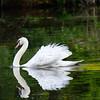 DSC_2972 mute swan
