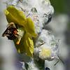 DSC_5160 Bumble bee