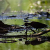 DSC_0096 scarlet ibis