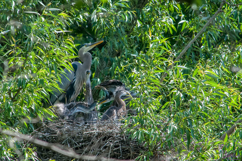 DSC_6926 heron's nest