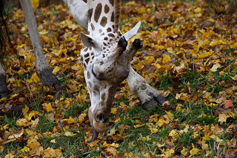 DSC_1051 giraffe_DxO