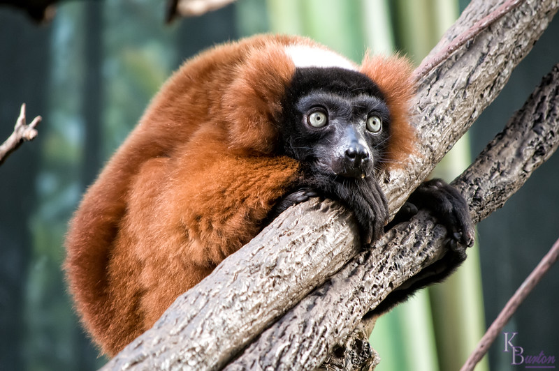 DSC_7207 red-ruffed lemur