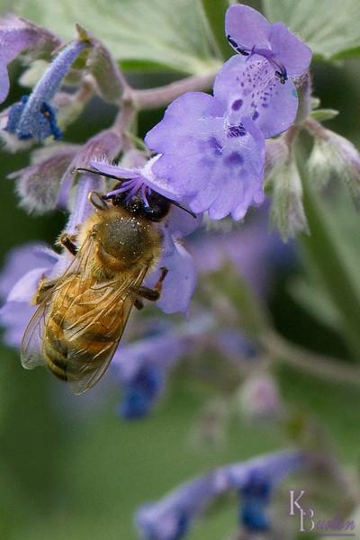 DSC_5127 honeybee feeding