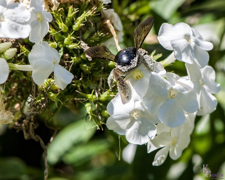 DSC_5816 bumblebee