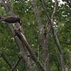 DSC_2710 osprey feeding-TSt