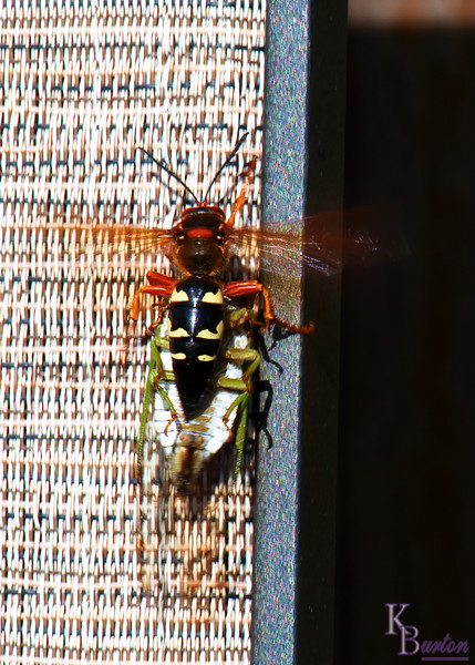 The peace of my afternoon lunch listening to the Met game in my backyard was interrupted when I heard what I thought was a twig hit one my deck chairs. I turned when I heard a loud buzzing and saw it was one of those cicada's that knocks you silly when they fly right into your head. I couldn't figure why it was having such a hard time righting itself and when I went over to investigate I immediately saw why. Flying into the house I grabbed my camera, a CF card, and a micro lens and tore back out less then a minute later. As I guessed it was too late to record the one sided battle, but I did get several good shots of the hornet carrying it's prize away. Here in this shot you can see the cicada's thorax vibrating madly as it vainly tried to free itself.
