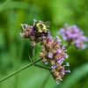 DSC_4195 bumblebee