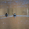 DSC_9513 hooded mergansers