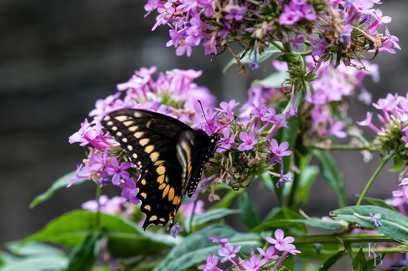 DSC_4466 black swallowtail