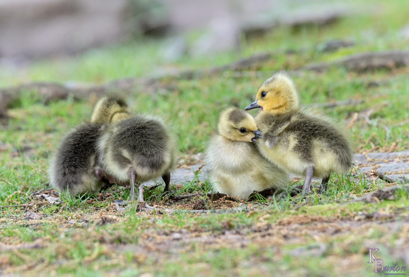 DSC_3947 goslings