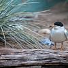 DSC_7034 arctic tern