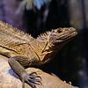 DSC_0735 sailfin lizard_DxO