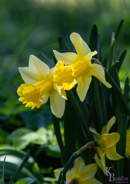 DSC_1377 daffodills