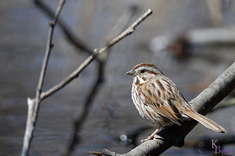 DSC_7460 sparrow_DxO