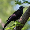 While the day started out a tad on the chilly for a spring day, by the time I stopped for lunch, it had become quite nice, and I decided to eat outside under the trees at the main restaurant here at the Bronx zoo rather than stay indoors. While I enjoyed my lunch and the warm sun on my skin, I looked up and noticed this common grackle up in the tree in front of me.