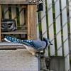 DSC_7716 blue jay