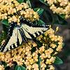 DSC_1611 swollowtail