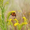 DSC_0343 monarch butterfly_DxO