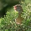 dsc_7059 sparrow in the sun