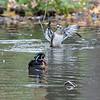 DSC_8336 wood duck