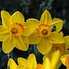 DSC_0717 daffodils